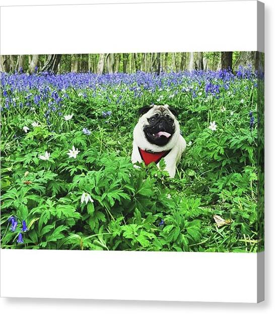 #pugstagram #pugsofinstagram #bluebell Canvas Print by Natalie Anne