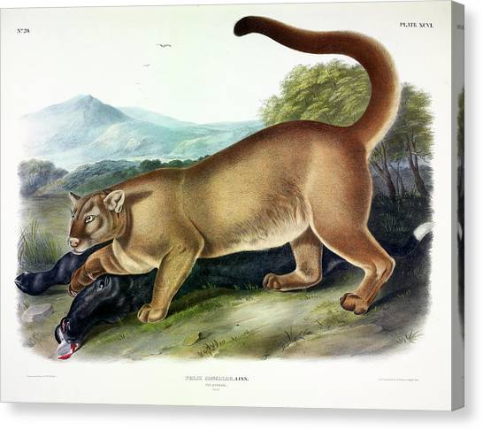 Florida Panthers Canvas Print - Puma by John James Audubon