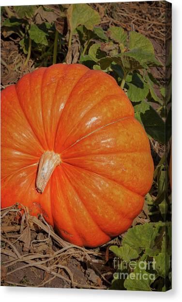 Pumpkin Patch Canvas Print - Pumpkin Picking by Ana V Ramirez
