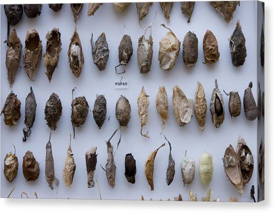 University Of Nebraska Canvas Print - Pupae At The University Of Nebraska by Joel Sartore