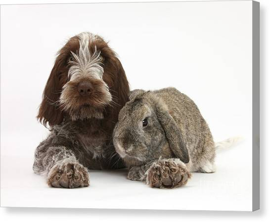 Spinone Canvas Print - Puppy And Rabbt by Mark Taylor