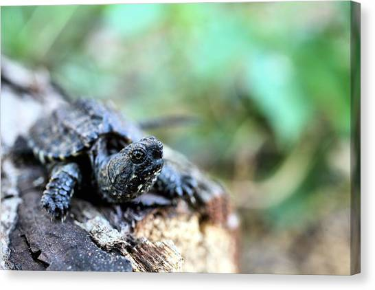 Snapping Turtles Canvas Print - Pure Cuteness by JC Findley