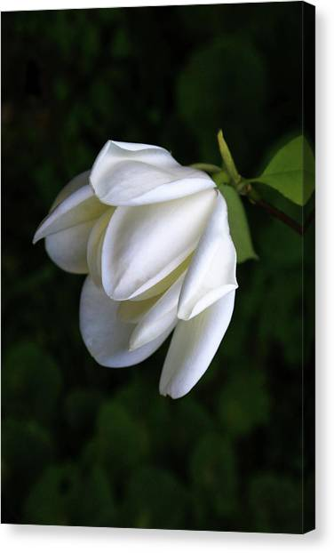 Purity In White Canvas Print