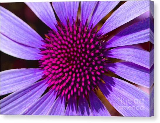 Purple And Pink Daisy Canvas Print