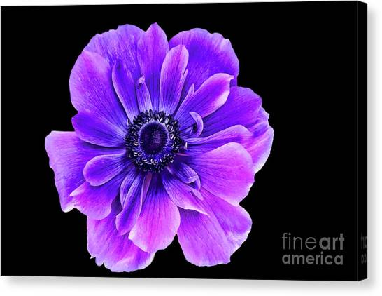 Purple Anemone Flower Canvas Print