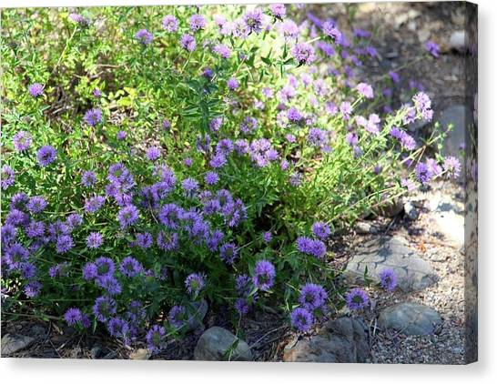 Purple Bachelor Button Flower Canvas Print