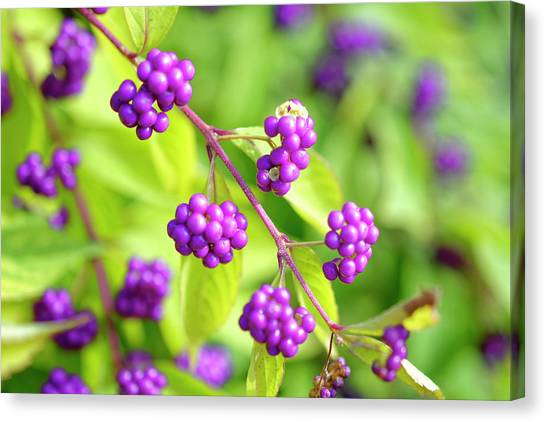 Purple Berries Canvas Print