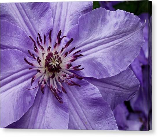 Purple Clematis Blossom Canvas Print