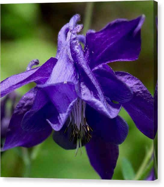 Purple Columbine Canvas Print