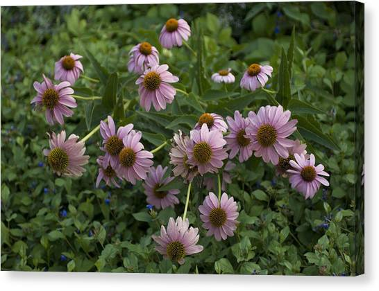 University Of Nebraska Canvas Print - Purple Cone Flowers On The University by Joel Sartore