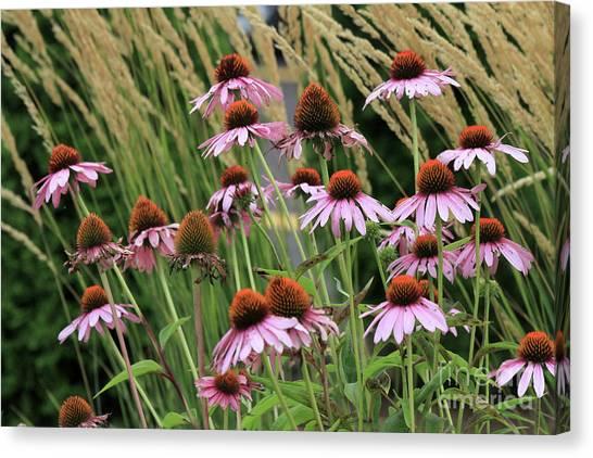 Purple Coneflowers Canvas Print