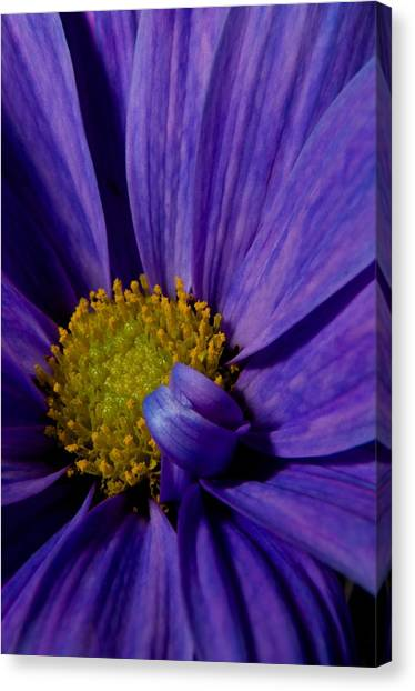 Purple Daisy Canvas Print by Susan Heller