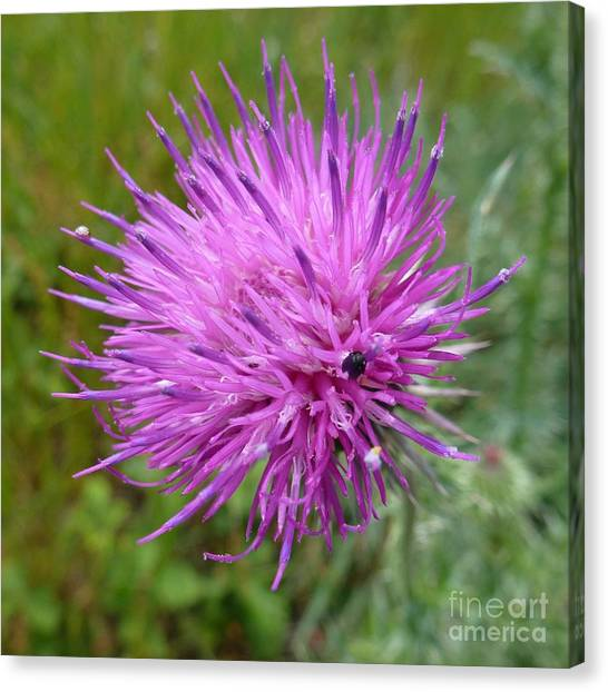 Purple Dandelions 2 Canvas Print