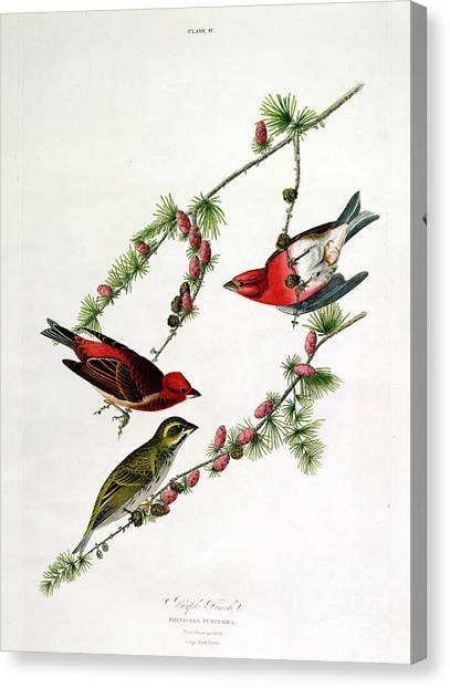 Finch Canvas Print - Purple Finch by John James Audubon