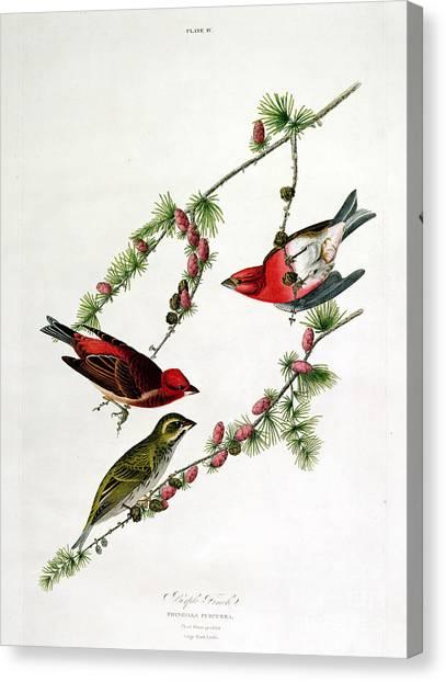 Finches Canvas Print - Purple Finch by John James Audubon