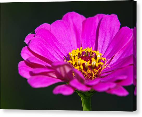 Purple Flower Close Up Canvas Print by Edward Myers