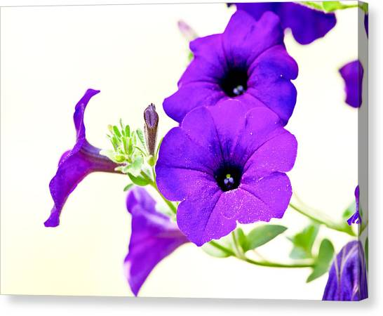 Purple Flowers On Light Background Canvas Print by Edward Myers