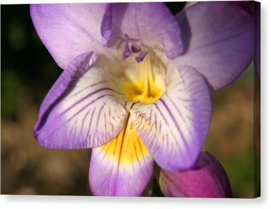 Purple Fresia Flower Canvas Print