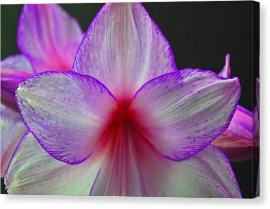 Amaryllis Canvas Print - Purple Haze by Donna Shahan