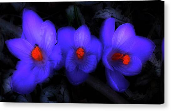 Beautiful Blue Purple Spring Crocus Blooms Canvas Print