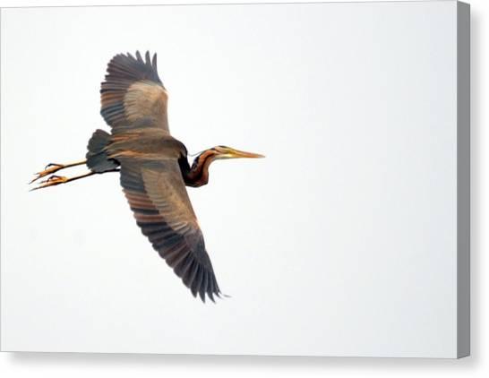 Purple Heron In Flight Canvas Print