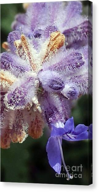 Purple Iced Blue New Mexico Wildflower Canvas Print