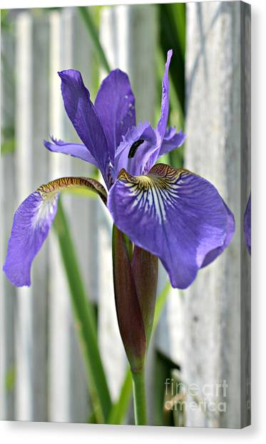 Purple Iris At The Fence Canvas Print