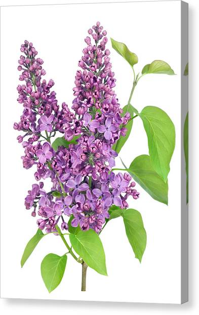 Purple  Lilac Isolated Branch Canvas Print