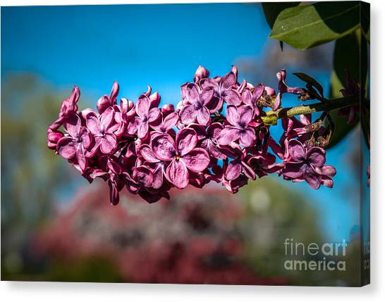 Lilac Bush Canvas Print - Purple Lilac by Robert Bales
