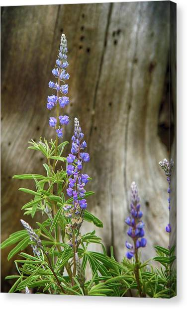 Purple Lupine Canvas Print
