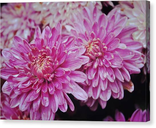 Purple Mums Canvas Print by JAMART Photography