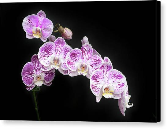 Canvas Print featuring the photograph Purple On White On Black by Denise Bird