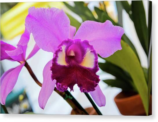 Purple Orkid Canvas Print
