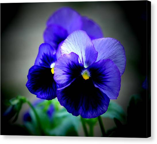 Purple Pansy - 8x10 Canvas Print by B Nelson