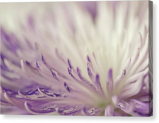 Purple Spider Mum Macro Canvas Print