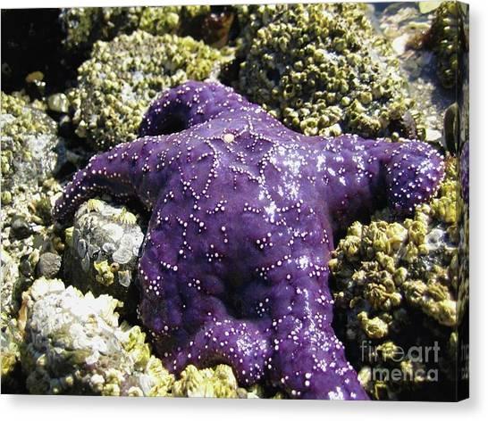 Purple Star Fish Canvas Print
