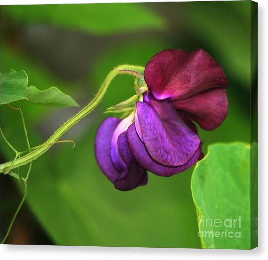 Purple Sweet Pea Canvas Print