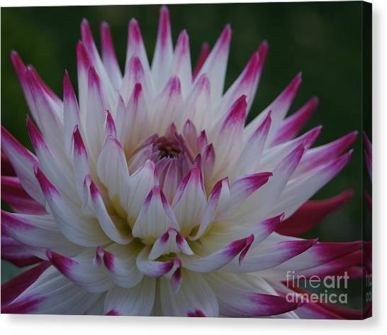 Purple Tipped Starburst Dahlia Canvas Print