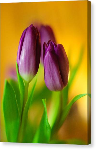Purple Tulips Canvas Print by Ahmed Hashim