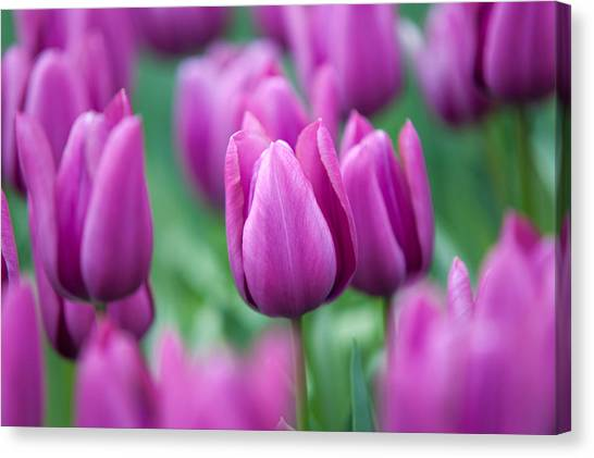 Purple Tulips Of Keukenhof Canvas Print