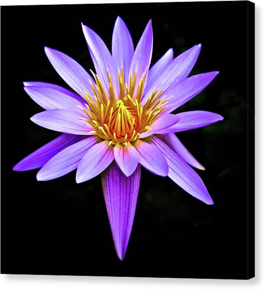 Purple Waterlily With Golden Heart Canvas Print