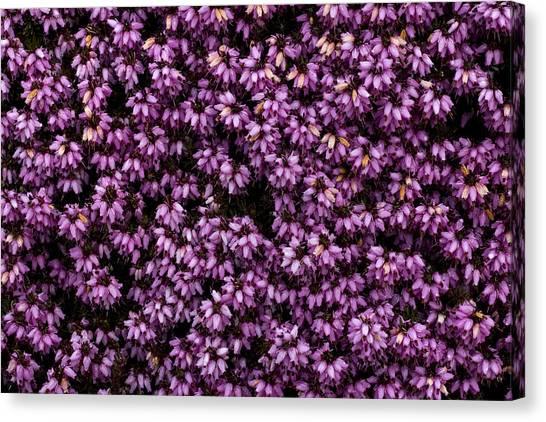 Purpleness Canvas Print by John Gusky