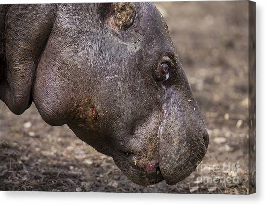 Pigmy Canvas Print - Pygmy Hippo by Twenty Two North Photography