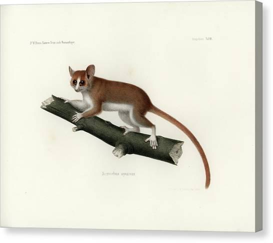 Pygmy Mouse Lemur Canvas Print