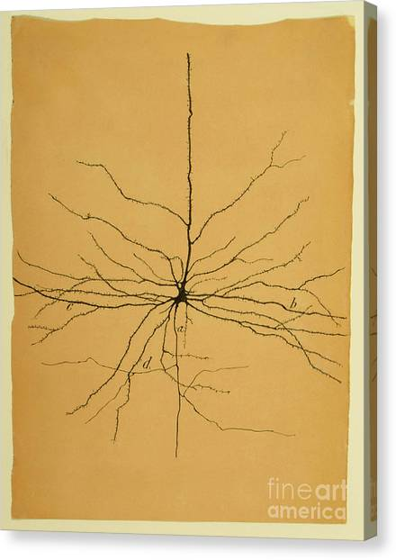 Brain Canvas Print - Pyramidal Cell In Cerebral Cortex, Cajal by Science Source