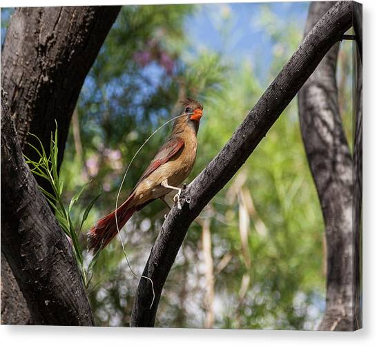 Pyrrhuloxia At Work Canvas Print