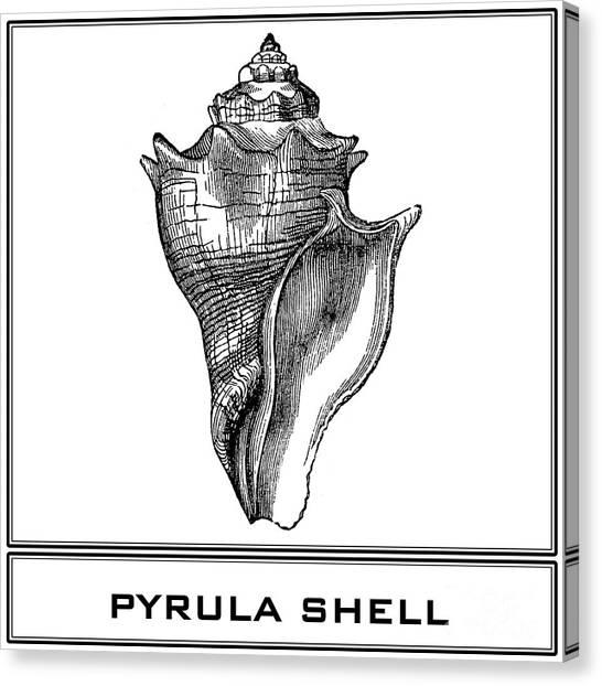 Pyrula Shell Canvas Print