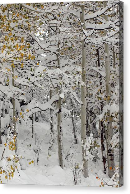 Quakies In Early Winter Canvas Print