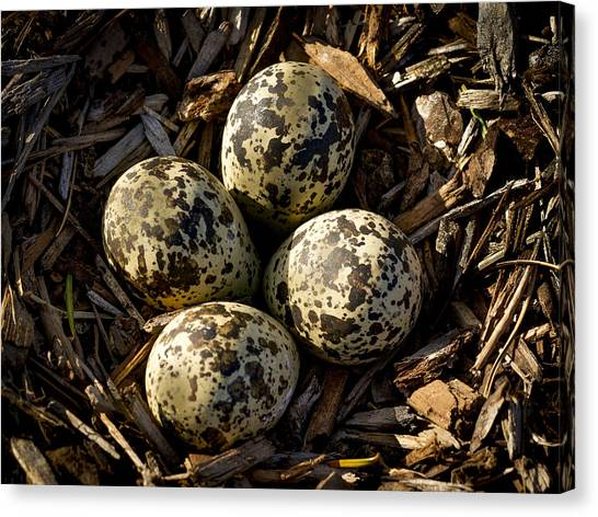 Killdeer Canvas Print - Quartet Of Killdeer Eggs By Jean Noren by Jean Noren