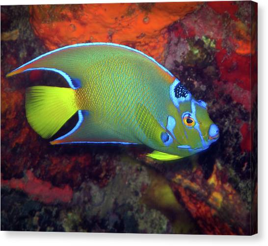 Queen Angelfish, U. S. Virgin Islands 2 Canvas Print